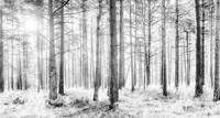 Mystical Forest Trees in Black and White