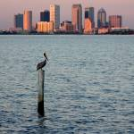 """Tampa Skyline and Pelican"" by Groecar"