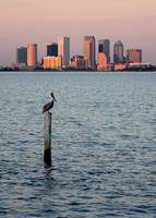 Tampa Skyline and Pelican