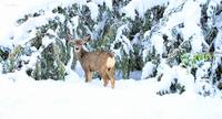 Deer in snow.