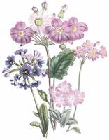 Primula Flowers by Jane Webb Loudon