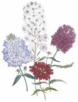 Verbena Flowers by Jane Webb Loudon