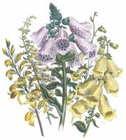 Digitalis Flowers by Jane Webb Loudon