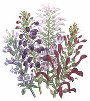 Lobelia Flowers by Jane Webb Loudon