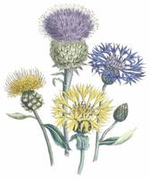 Centaurea Flowers by Jane Webb Loudon