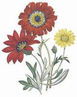 Gazania Flowers by Jane Webb Loudon