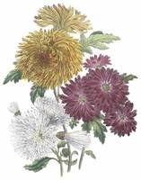 Chrysanthemum Flowers by Jane Webb Loudon