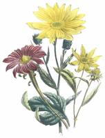Helianthus Flowers by Jane Webb Loudon