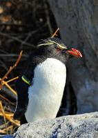 Rockhopper Penguin (Eudyptes chrysocome)