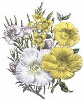 Oenothera Flowers by Jane Webb Loudon