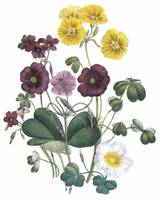 Oxalis Flowers by Jane Webb Loudon