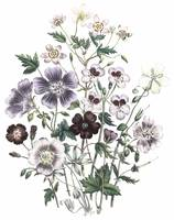 Geranium and Erodium Flowers by Jane Webb Loudon