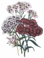 Dianthus Flowers by Jane Webb Loudon
