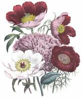 Paeonia Flowers by Jane Webb Loudon