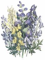 Aconitum Flowers by Jane Webb Loudon