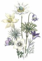 Pulsatilla Flowers by Jane Webb Loudon