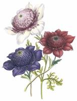 Anemone Flowers by Jane Webb Loudon