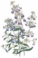Collinsia Flowers by Jane Webb Loudon