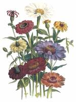 Zinnia Flowers by Jane Webb Loudon