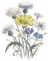 Centaurea and Ammobium Flowers by Jane Webb Loudon