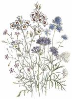 Gilia Flowers by Jane Webb Loudon