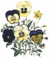 Viola Flowers by Jane Webb Loudon
