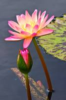 Tall Waterlily Beauty