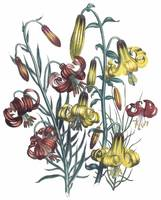 Lilium Flowers by Jane Webb Loudon