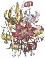 Lilium Flowers by Jane Webb