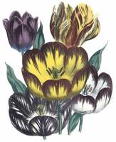 Tulipa Flowers by Jane Webb Loudon