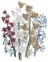 Hyacinthus Flowers by Jane Webb Loudon