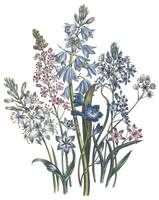 Scilla Flowers by Jane Webb Loudon