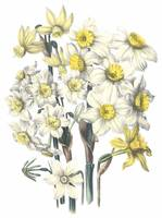 Narcissus Flowers by Jane Webb Loudon
