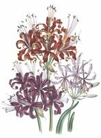 Nerine Flowers by Jane Webb Loudon