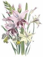 Gladiolus Flowers by Jane Webb Loudon