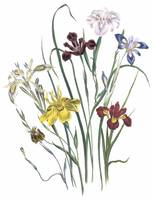 Moraea Flowers by Jane Webb Loudon