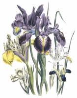 Iris Flowers by Jane Webb Loudon