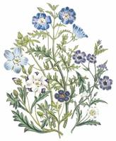 Nemophila Flowers by Jane Webb Loudon