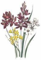 Ixia Flowers by Jane Webb Loudon