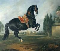 A black horse performing the Courbette