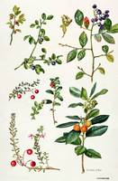 Cranberry and other berries