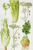 Celery, Fennel, Dill and Celeriac