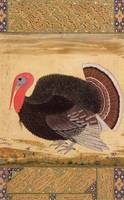 A turkey-cock, brought to Jahangir from Goa in 161