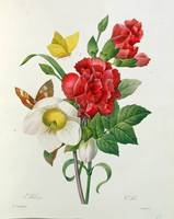 Christmas Rose, Helleborus niger and Red Carnation