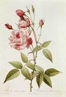 Rosa Indica Vulgaris, from Les Roses by Claude Ant