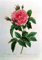 Rosa Gallica Regallis, from Les Roses, 19th centur