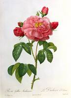 Rosa Gallica Aurelianensis, engraved by Eustache H