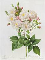 Rosa Noisettiana, fromLes Roses, 19th century 9col