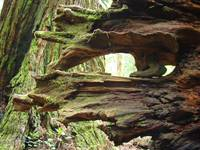 Redwood Trees California Redwood Tree Roots prints