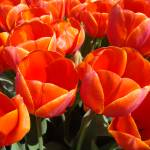 """ORANGE Tulip Garden Tulips Flowers art prints Spri"" by BasleeTroutman"